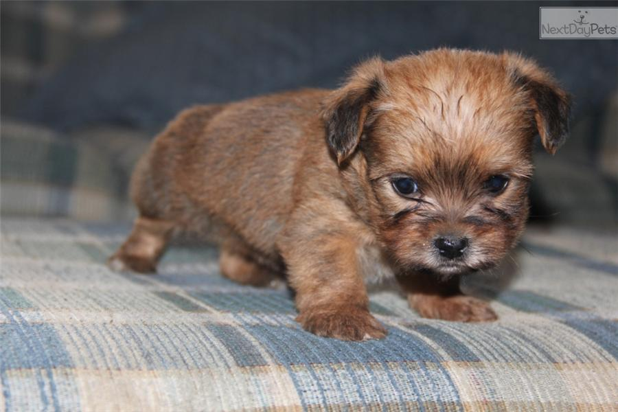 ... Male a cute Shorkie puppy for sale for $500. CKC Shorkie[Snuggles