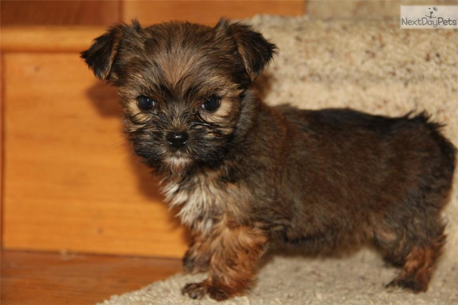 ... Female a cute Shorkie puppy for sale for $550. CKC Shorkie[Sweetie