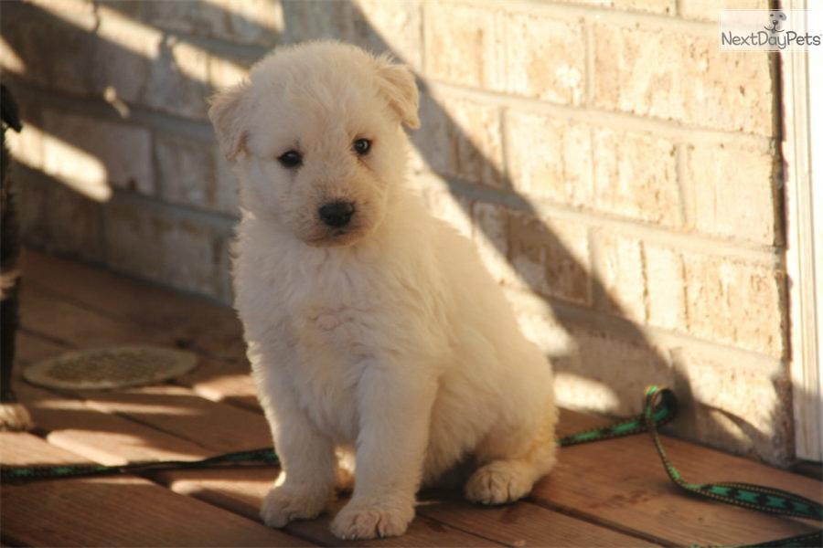 siberian husky puppy for sale near bowling green kentucky