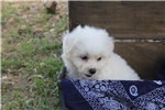Picture of Bichon for sale (Razzle)