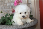 Picture of Bichon for sale (Rascal)