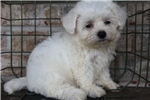 Picture of Bichon for sale (Raspberry)