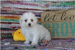 Picture of AKC Bichon Frise [Izzy]