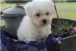Picture of Bichon for sale (Ranger)