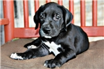 Picture of AKC Great Dana