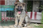 Picture of German sherderd/Siberian Husky{Camie]
