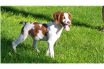 Picture of AKC Brittany Spaniel Rooster
