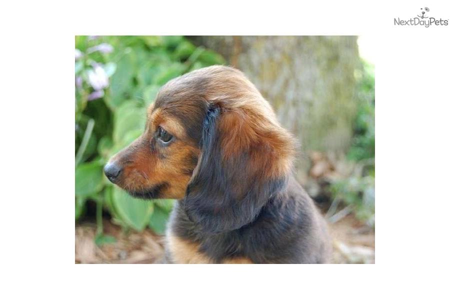 Meet Maci A Cute Dachshund Puppy For Sale For 450