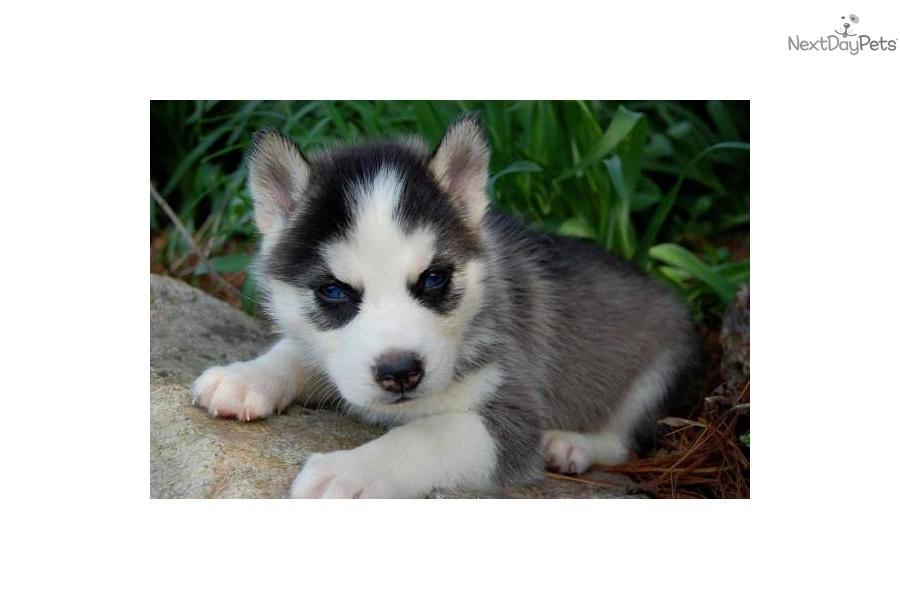 Siberian Husky puppy for sale near Joplin, Missouri ...