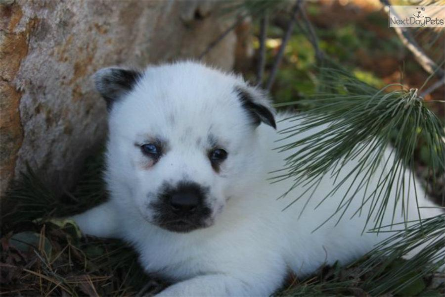 Siberian Husky Puppy For Sale Near Joplin Missouri