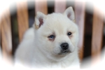 Picture of Cheyenne~Beautiful Miniature Husky Girl!