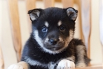Picture of Airin~Gorgeous Miniature Husky Princess!