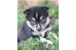 Picture of Gorgeous Mini Husky Guy~Dakota!