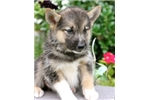 Picture of Hercules~Handsome Mini Husky Fella!