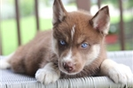 Picture of Regal, Chocolate Siberian Husky~Adonis!