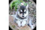 Picture of Rebel~Gorgeous Miniature Husky Guy!