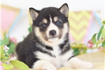 Sparkling MINI HUSKY Princess~Zena! | Puppy at 6 weeks of age for sale