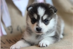 Picture of Storm~Gorgeous Mini Husky Boy!