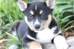 Picture of Samson~Gorgeous Miniature Husky Boy!