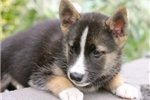 Picture of an Alaskan Klee Kai Puppy