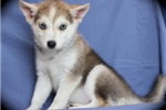 Picture of Fendi~Luxurious Miniature Husky Princess!