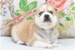 Picture of Precious Mini Husky Boy~Maddox!