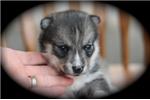 Picture of Lovely Mini Husky Girl~Lara!