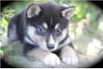 Picture of Rhea~Stunning Mini Husky Girl!