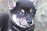 Picture of Rasta~Fabulous Mini Husky Princess!