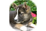Picture of Hugo~Gorgeous Mini Husky Guy!