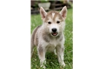 Picture of Hudson~Handsome Mini Husky Puppy!