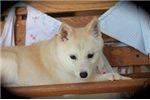 Picture of Pixie~Playful, Smart Mini Husky Girl!