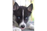 Picture of Sweet as Pie Siberian Husky~Adaline!