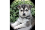 Picture of Adorable Miniature Husky Puppy~Rio!