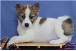 Picture of Forrest~Precious, Gorgeous Mini Husky Boy!