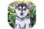 Picture of Sass~Sweet Mini Husky Beauty!