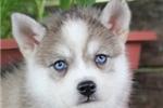 Picture of Saki-Lovely Mini Husky Princess!