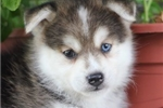 Picture of Selah~Sweet Mini Husky Baby!