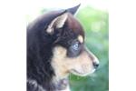 Picture of Rocco~Sweet Mini Husky Fella!