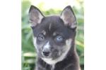 Picture of Spitfire~Sweet Miniature Husky Boy!