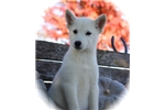 Picture of Rhianna~Lovely Mini Husky Girl!