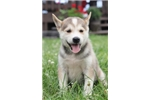 Picture of Hunter~ Adorable Mini Husky Puppy!