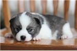 Picture of Leo~Beautiful Mini Husky Boy!