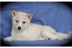 Picture of Farah~Lovely MIni Husky Princess!