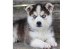 Picture of Adorable Mini Husky Boy~Sachi!