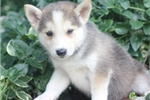 Picture of Hemingway~Adventurous Mini Husky Puppy!