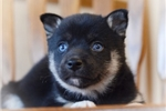 Picture of Aura~Gorgeous Miniature Husky Princess!
