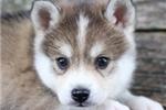Picture of Shea~Gorgeous Mini Husky Boy!