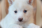Picture of Precious Mini Husky Princess~Tia!