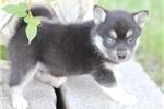 Picture of Lovely Mini Husky Girl~Dahlia!